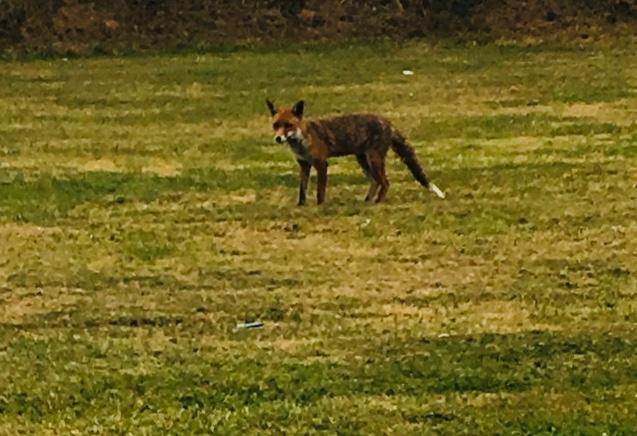Fox on the green Slievenamon Golf Club